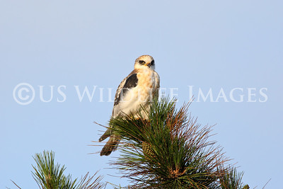 Juvenile White Tailed Kite