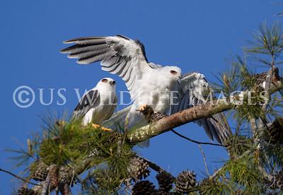 White Tailed Kite Hawk Prey Handoff