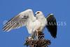 White Tailed Kites : White Tailed Kites (Elanus Leucurys)
