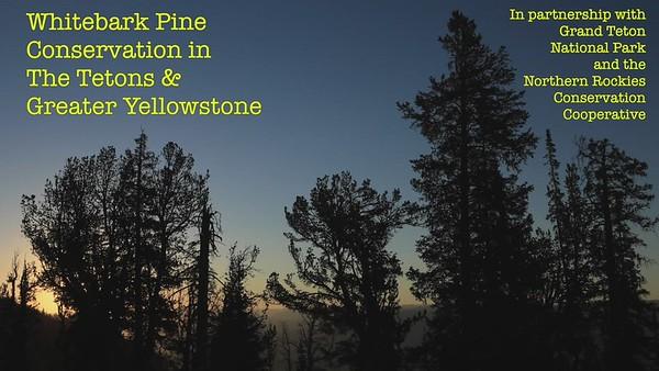 1: For the love of whitebark pine