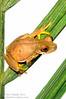 Rufous-eyed stream frog (<I>Duellmanohyla rufioculis</i>) female swollen with eggs Rara Avis Rainforest Reserve, Costa Rica  Meet Your Neighbours - MYN www.meetyourneighbours.net