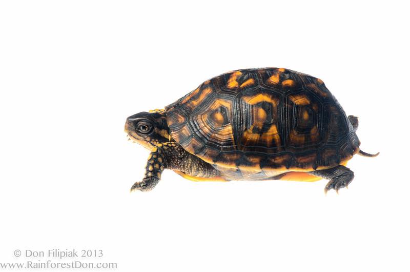 Eastern box turtle (<I>Terrapene carolina</i>)  Meet Your Neighbours - MYN www.meetyourneighbours.net
