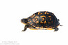 Eastern box turtle (<I>Terrapene carolina</i>)  Meet Your Neighbours - MYN www.meetyourneighbours.net