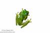 Ghost-eyed glassfrog (<I>Sachatamia ilex</i>) Rara Avis Rainforest Reserve, Costa Rica  Meet Your Neighbours - MYN www.meetyourneighbours.net