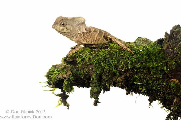Casque-headed lizard or Helmeted iguana (<i>Corytophanes cristatus</i>) Rara Avis Rainforest Reserve, Costa Rica  Meet Your Neighbours - MYN www.meetyourneighbours.net