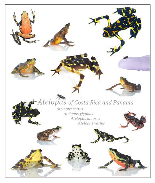 Atelopus of Panama poster