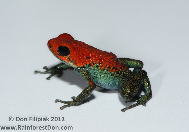 This male <i>Oophaga granulifera</i> is from a large, not publicly known population. This species has had entire local populations wiped out due to people collecting every last individual to sell in the exotic pet trade.