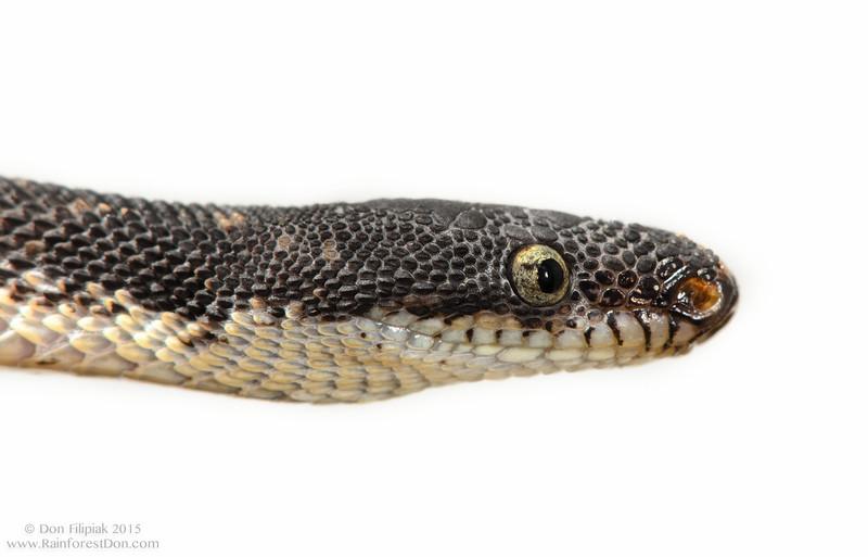 Rugose litter snake (<i>Nothopsis rugosus</i>) La Gamba, Costa Rica 2012