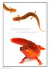 Red Salamander (Pseudotriton ruber) adult and larva