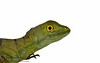 Green Basilisks (Basiliscus plumifrons) are also aptly called Jesus Christ Lizards. This name stems from their ability to run across the surface of water.