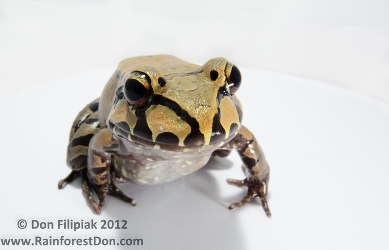 A large Central American Bullfrog (<i>Leptodactylus savagei</i>)