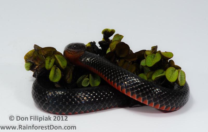 Southern Florida Swamp Snake (<I> Seminatrix pygaea cyclas </i>)
