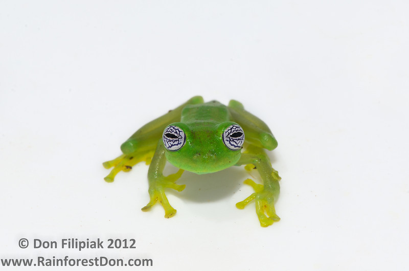 "This frog is a fun one, and quite a special one at that.  Meet <i>Sachatamia ilex</i>, the Ghost Glassfrog.  At first glance, one could pass by this guy thinking, ""Eh, another little green frog"". But take a closer look at one of Nature's marvels. The skin is smooth and bright green, the hands and feet- yellow, its nostrils flare out in a manner reminiscent of an angry bull. Flip the frog over and you'll see the reason they're called glassfrogs. Transparent bellies- yep clear, you can actually see the animal's organs as they work together in synchrony. What's more is this creature's most obvious and endearing trait...those eyes. Large, bright white irises, rich black psychedelic reticulations.... It also happens to be the largest glassfrog found in Central America- slightly smaller than a grown man's thumb. So not only is it mesmerizingly beautiful, it's delicate- as an individual and as a species. These frogs reside in the wet premontane  forests of Central America; only a narrow band of suitable habitat for this (and other stream specialists) remains in tact.. While the population at this little guy's home seems to be stable, the threat of range-wide habitat destruction is still very real."