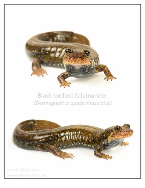 Black-bellied Salamander (Desmognathus quadramaculatus)