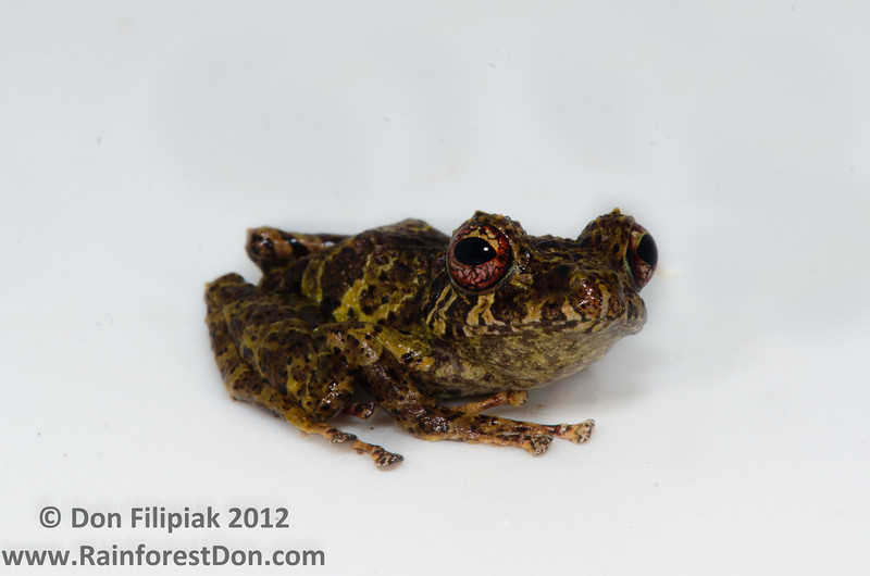 Golden-groined Rainfrog (<I>Pristimantis cruentus)