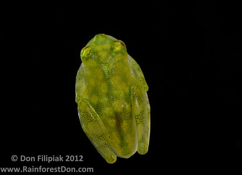 Reticulated glassfrog (<I>Hyalinobatrachium valerioi</i>)