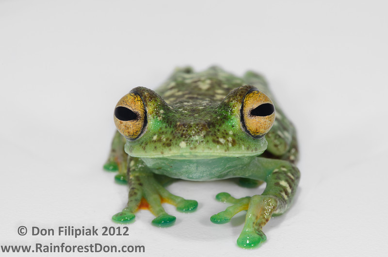 Scarlet-webbed Treefrog (<i>Hypsiboas rufitelus</I>) This male is showing off his daytime coloration of yellow eyes and white spots.