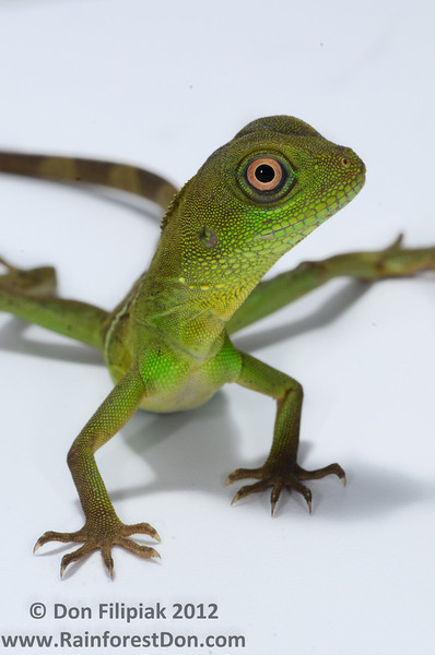 Asian Water Dragon (<i>Physignathus cocincinus</i>), A wild specimen that I found and then brought back to the studio for photographs. This is a very charismatic lizard, fun to work with.