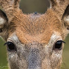"""""""Eyes""""-whitetail buck in velvet"""