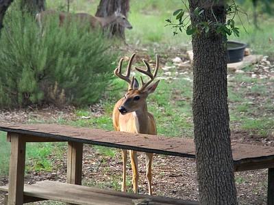 Buck Antlers Still Growing, Still Mossy