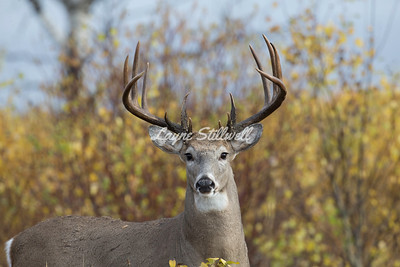 Whitetail & Mule Deer
