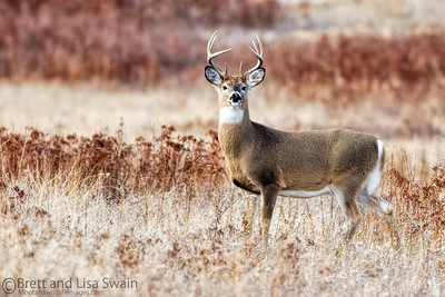 Whitetail Buck on Red (rule of thirds)