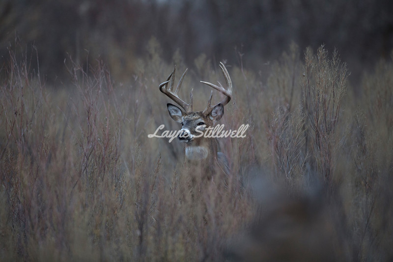 Whitetail buck with out of focus doe
