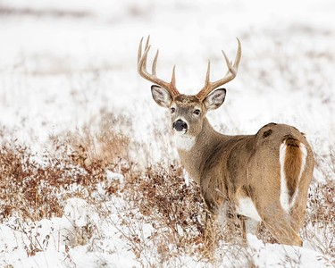 Whitetail Buck Rear View