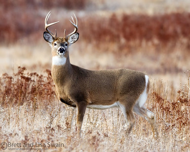 Whitetail Buck on Red