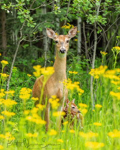 Mama Whitetail Doe and New Baby