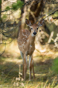 Whitetail Fawn-late summer