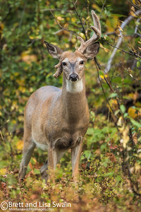 White-tailed Buck With Damaged Antler
