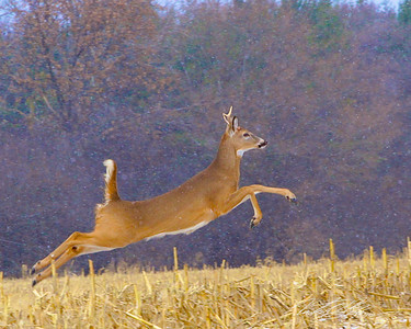 Local deer in training for Santa's team as first snow hits northern Illinois.