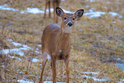"""I love going out on cloudy cold days, the woods are extra quiet and the deer seem less skittish. I was just standing still on the edge of the wood line watching about 20 deer. The older does were foraging but the yearlings were running and playing in the lightly falling snow. This little one walked right up to me as if to say; """"You wana play?"""""""