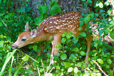 1 of 3 - I was out for a Sunday walk in the woods when I stumbled into this little guy, probably not more than a day old, mama was bedded down about 10 yards beyond, neither seemed bothered by my presence.