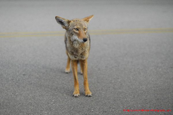 Coyote. Griffith Park Los Angeles, CA USA