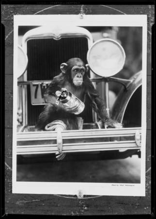 Monkey composite, Southern California, 1931