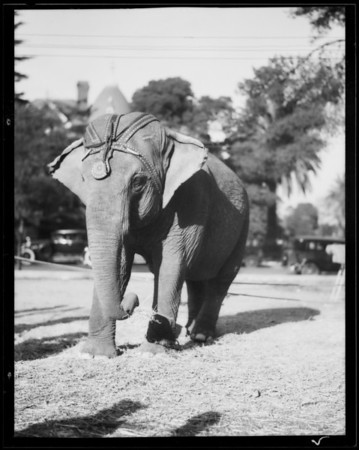 Animals - elephants, camels, etc., Southern California, 1930