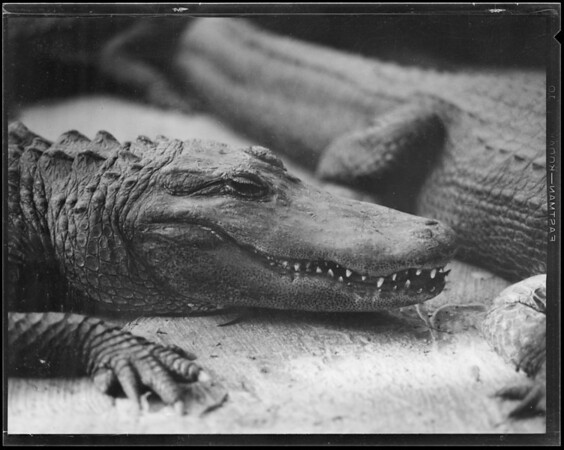 Alligators, Whittington, Southern California, 1930