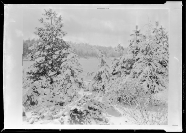 Christmas trees at Lake Arrowhead, Southern California, 1931