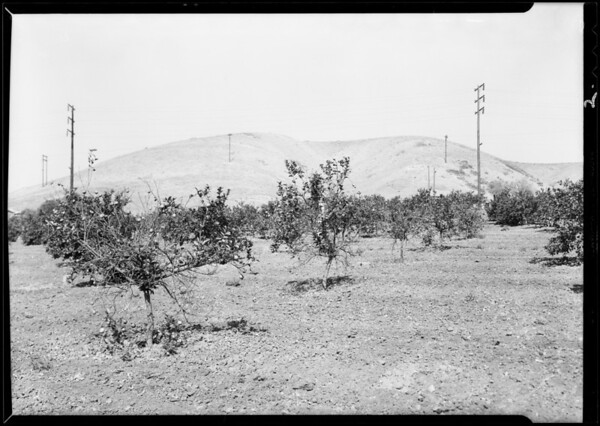 Red scale on lemon trees at Brea, Southern California, 1931