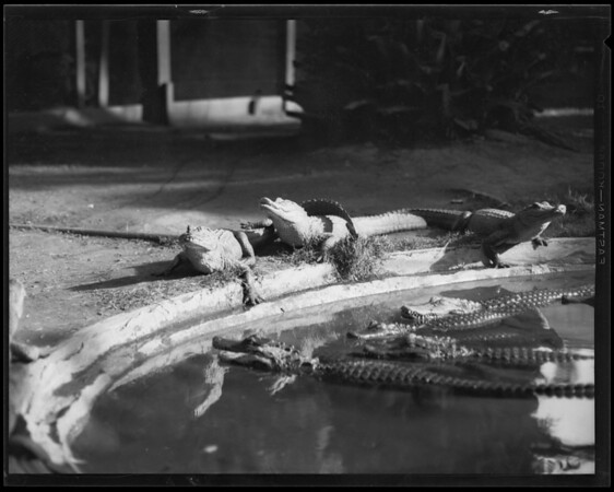 Alligators, Whittington, Southern California, 1930