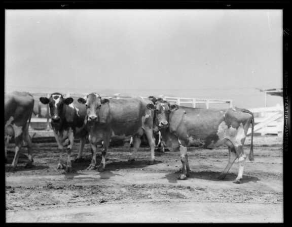 Scenes at dairy, Southern California, 1931