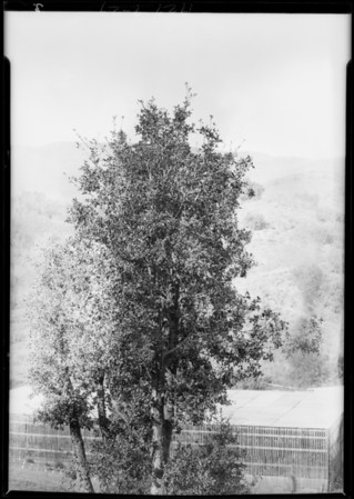 Trees for 'printing in', Southern California, 1929