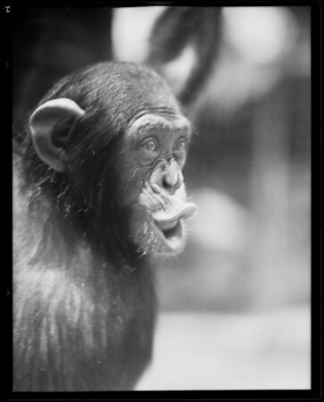 Chimpanzee at Selig zoo, Los Angeles, CA, 1930