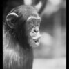 Chimpanzee at Selig zoo, Los Angeles, CA, 1930