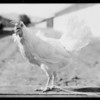 Chickens at Pallet Farm, etc., Southern California, 1929