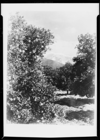 Orange trees and snow, Southern California, 1931