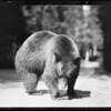 Bear at Yosemite, CA, 1931