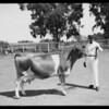 Cattle, La Lomita Rancho, Southern California, 1925